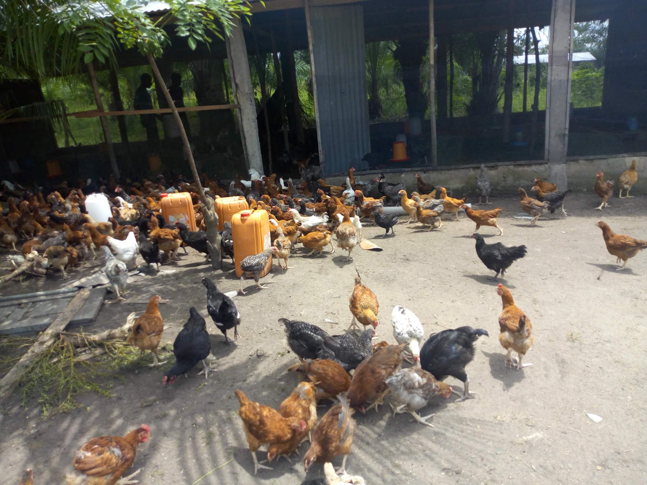Poulet fermier Noilers