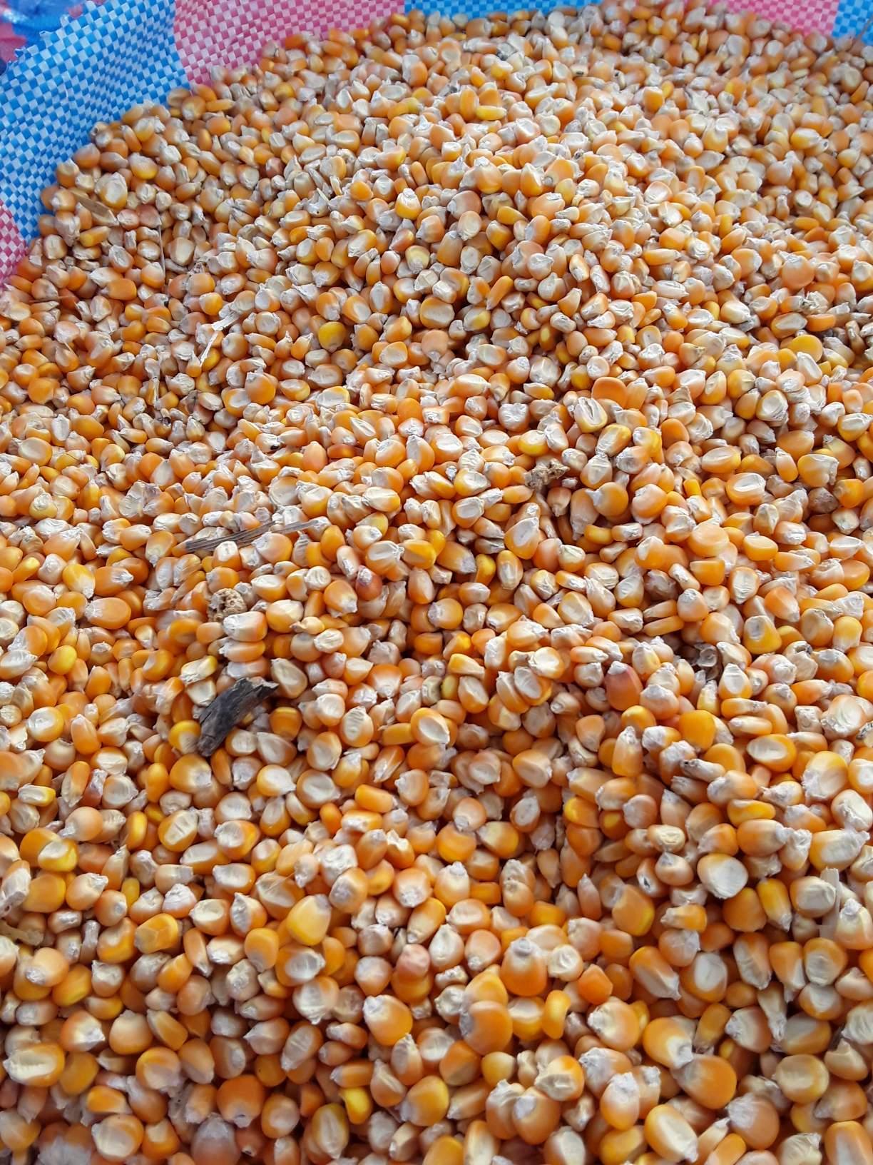 Nzara-produits agricoles-maïs