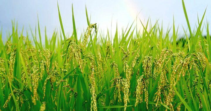 Du riz pour contrer le COVID19