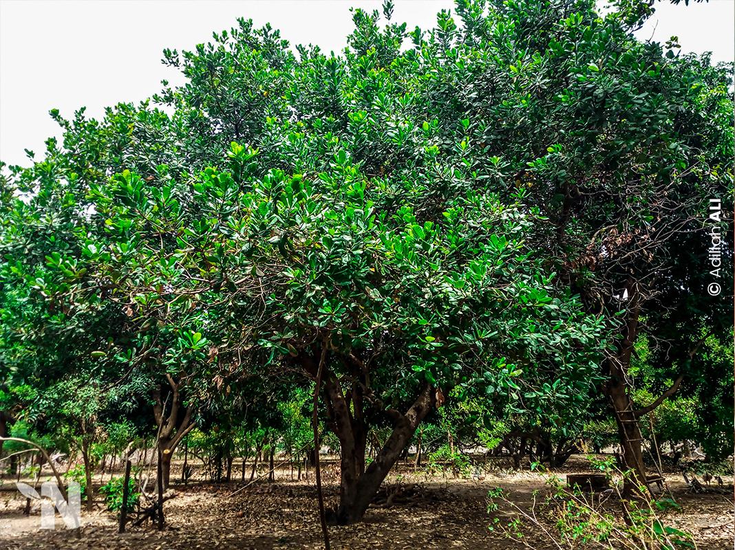 Nzara-Togo-Une mini-forêt dans la Savane-2