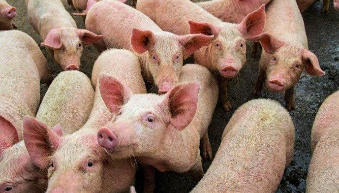 Togo: Alerte aux éleveurs de porcs