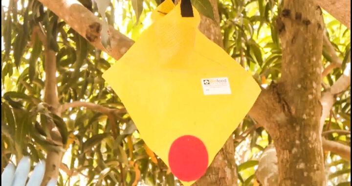 Togo: Des pièges à para-phéromones pour lutter contre les mouches de fruits