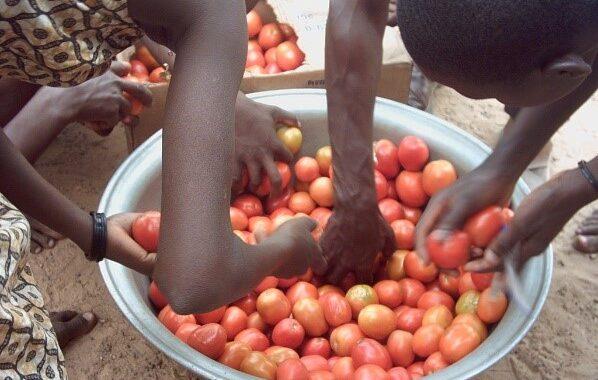 La commercialisation de la tomate fraiche en souffrance