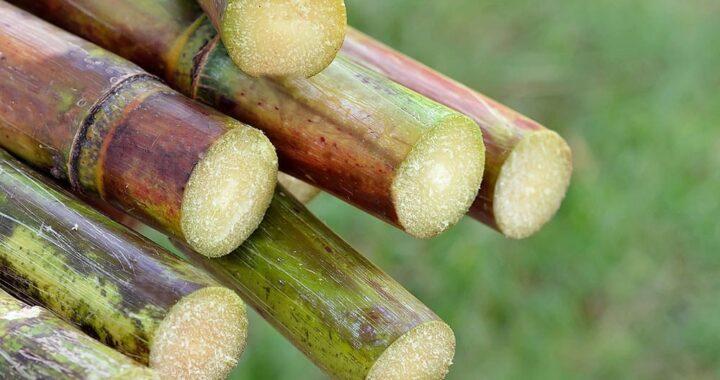 Togo : La canne à sucre est plus rentable que le maïs !