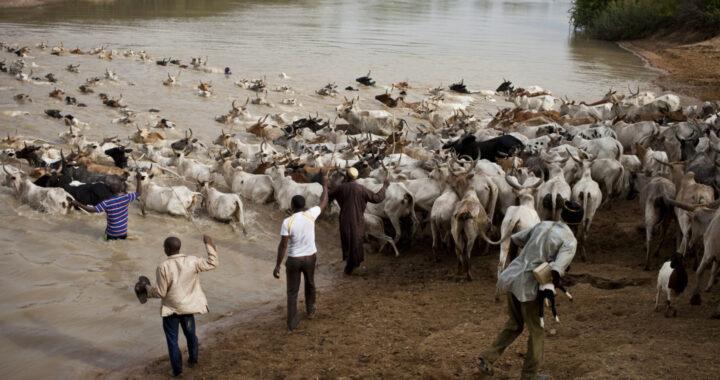 Togo: Une route pour le bétail