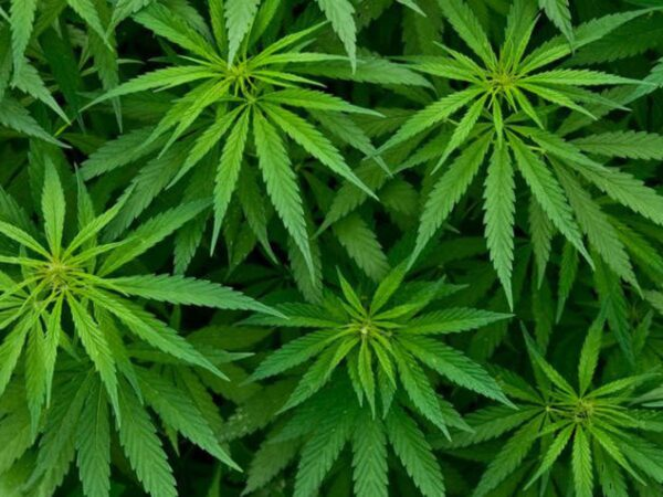 Information Nzara : cannabis