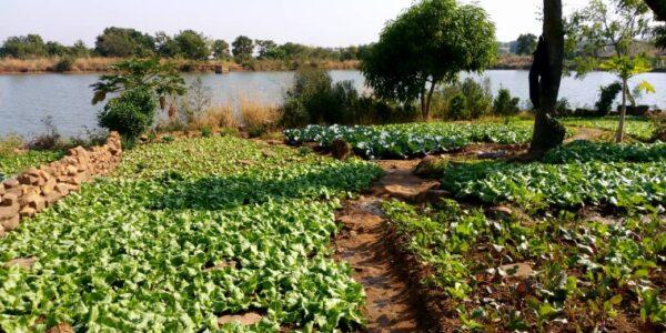 Information Nzara : parcelle de maraîchage du barrage de Kporgou