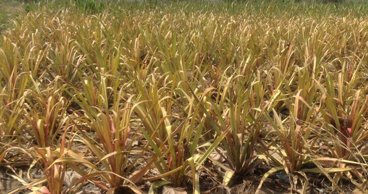 Un procédé scientifique pour valoriser les déchets d'ananas