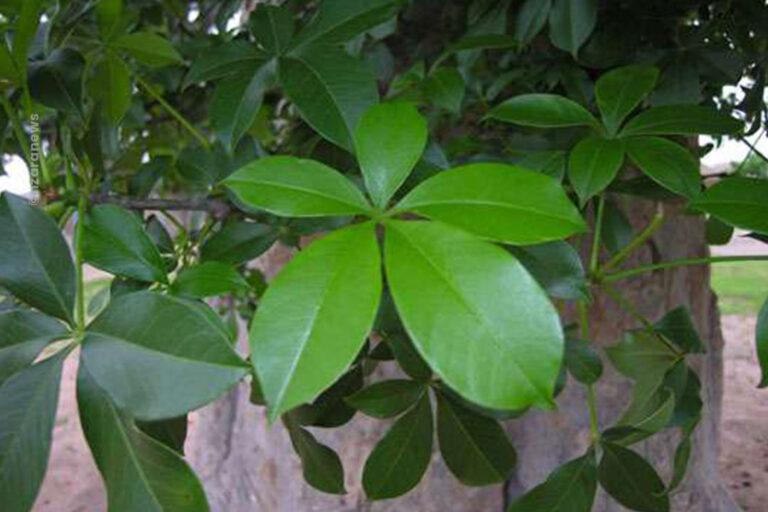 Les feuilles de baobab son pleines de vertues