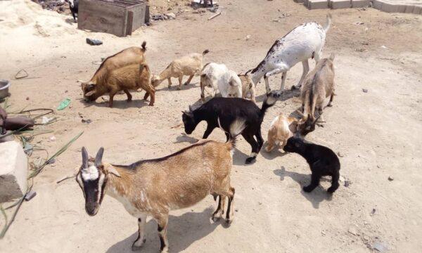Financement Nzara : chèvres